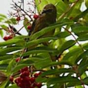 Berries And Waxwing Poster