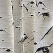 Birch Trees In A Row Close-up Of Trunks Poster