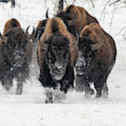 Bison Bulls Run In The Snow Poster