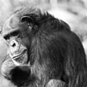 Black And White Chimp Poster