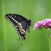 Black Swallowtail Balance Poster