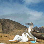 Blue Footed Booby Chick Begging Poster