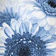 Blue Gerbera Poster