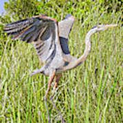 Blue Heron On The Rise Poster