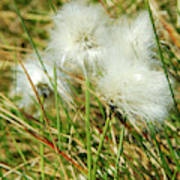 Bog Cotton On The Moor Poster
