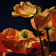 Bright Orange Poppies Poster
