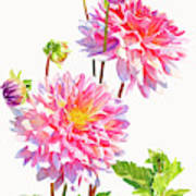 Bright Pink Dahlias With Buds Poster