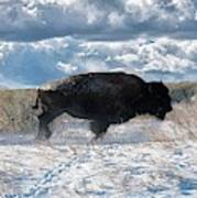 Buffalo Charge.  Bison Running, Ground Shaking When They Trampled Through Arsenal Wildlife Refuge Poster