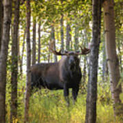 Bull Moose In Fall Forest Poster