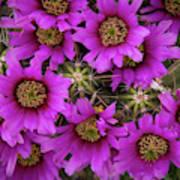Burst Of Fuchsia Cactus Flowers Poster