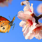 Butterfly And Pink Almond Tree Blossom Poster
