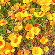 California Poppies - 2019 #3 Poster