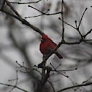 Cardinal On The Limb Poster