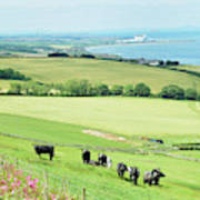cattle in field and east coast Berwickshire Poster