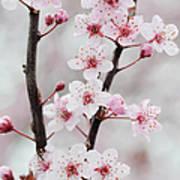 Cherry Plum Purple Plum Pink Flowers On Poster