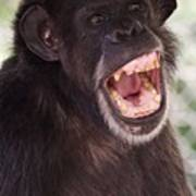 Chimp With Mouth Open Poster