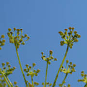Close Up Of Fennel Flowers. On Sky Background Poster