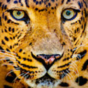 Close Up Portrait Of Leopard With Poster