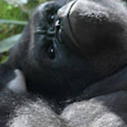 Close-up Shot Of Silverback Gorilla Making An Angry Face Poster