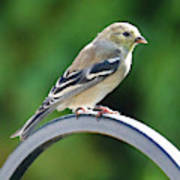 Closeup Of Goldfinch Poster