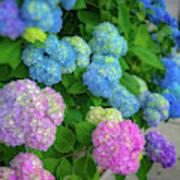 Colorful Hydrangeas Poster
