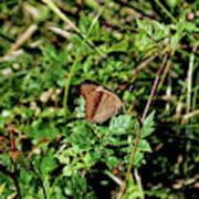 Common Buckeye Butterfly Poster