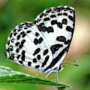 Common Pierrot Butterfly Poster