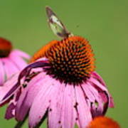 Cone Flower Butterfly At Rest Poster
