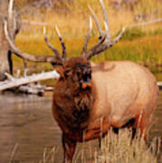 Creekside Bull Poster