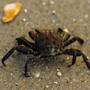 Curious Crab Poster
