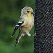 Cute Goldfinch At Feeder Poster