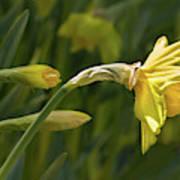 Daffodil In Sun Poster