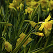 Daffodil Starlight Poster