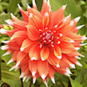 Dahlia Bloom Flower Poster