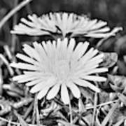 Dandelion Up Close And Personal Black And White Poster