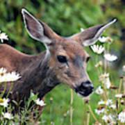 Deer In Daisies Poster