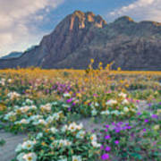 Desert Sand Verbena, Desert Sunflower Poster