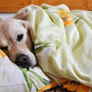 Dog Sleeps Under The Blanket Poster