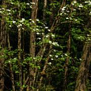 Dogwood Tree 2 Poster