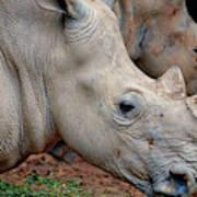 Double Rhino Poster