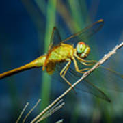 Dragonflies, Insects, Animals, Nature Poster