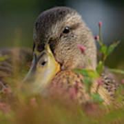 Duck 1 Poster