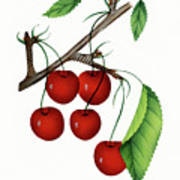 Early Richmond Cherries Poster
