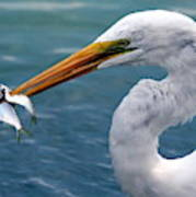 Egret Feeding  Poster