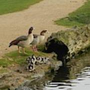 Egyptian Geese Poster