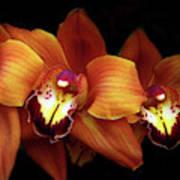 Orange Cimbidium Orchid Poster