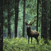 Elk In Forest Poster