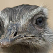 Emu Print 9053 Poster