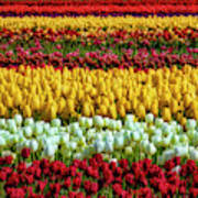 Endless Beautiful Tulip Fields Poster