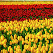 Endless Tulip Fields Poster